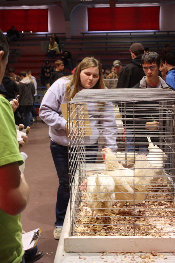 Hannah Peterson evaluates the production hens in the Poultry Evaluation Career Development Event. Laura Klenda / Centre High School