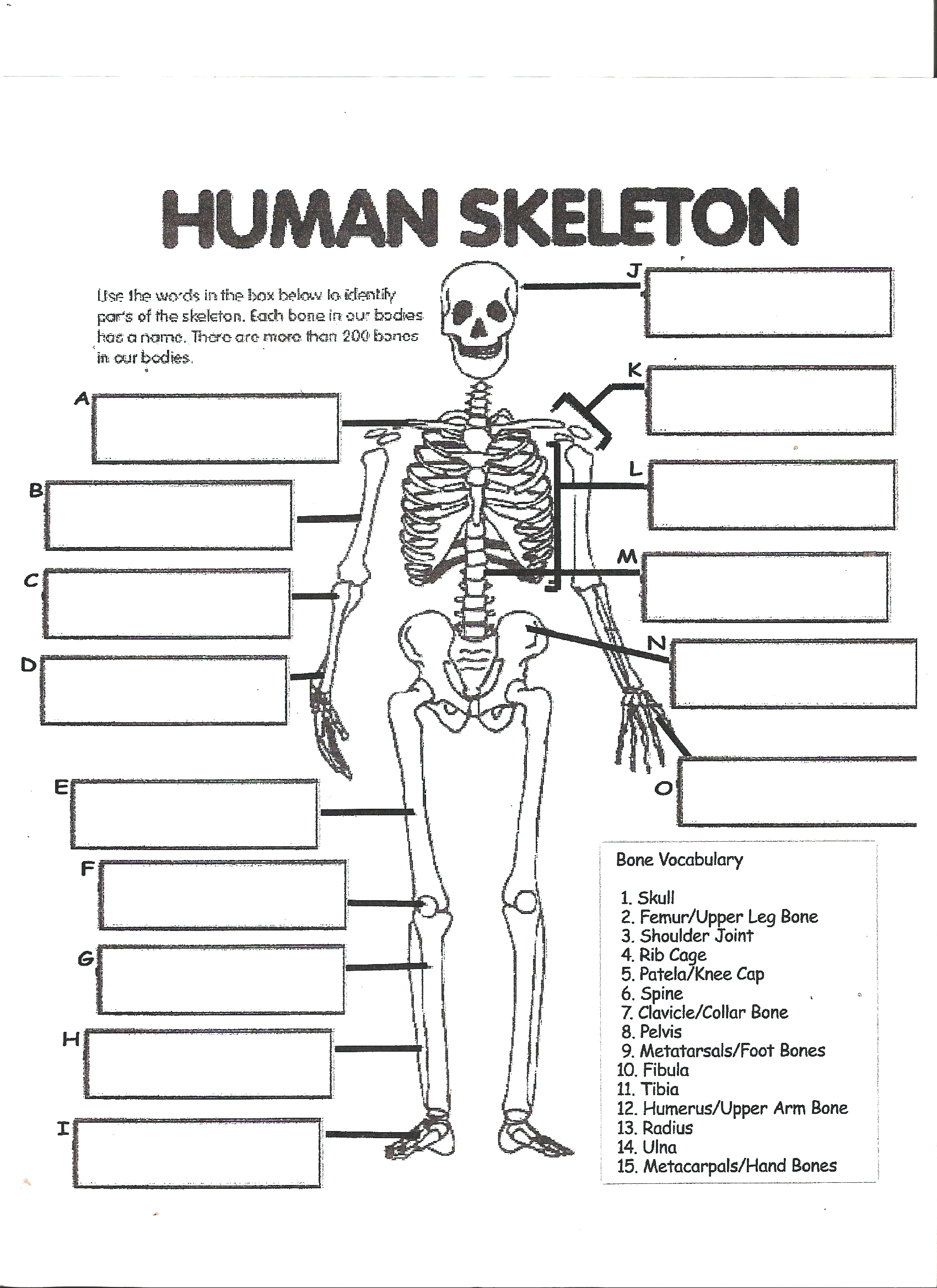 Human Skeleton Anatomy Activity