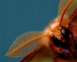 Luna Moth, Actias luna, antennae