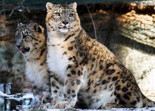 leopard-1994499_1920 (1)