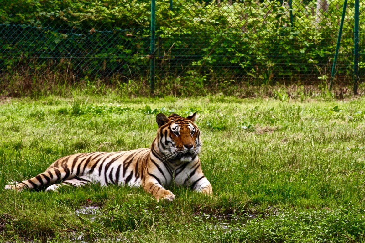 ranthambore tiggr