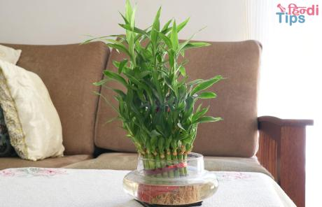 lucky-bamboo plant