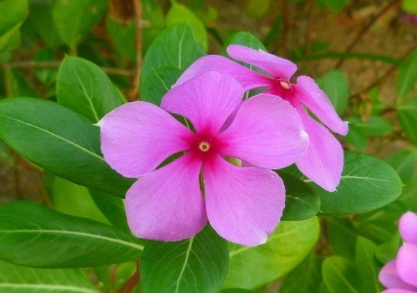 Flower Names in Hindi and English                                                                List of Flowers Periwinkle                                                     Sadaabahaar