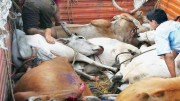 cow_smugglers_rajasthan Cow Slaughtering