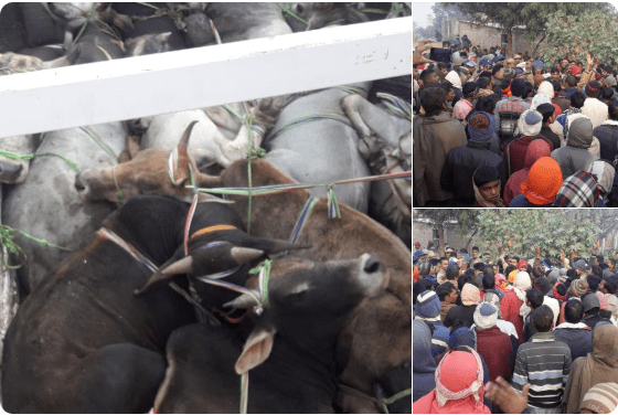Truck laden with smuggled cattle; protesting villagers (credit: Jagran)