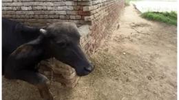 Buffalo Thief