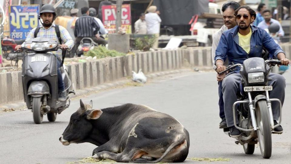 Stray cows are often found in the middle of the roads, causing problems to commuters.(HT File)
