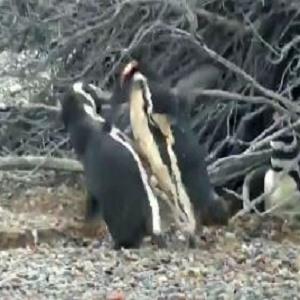 penguinfightvid