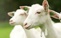 geiten van kabrita