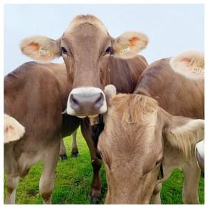 koeien brixental
