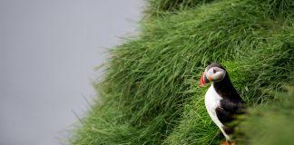 papegaaiduiker ijsland op gras