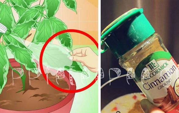 Ρίξτε 1 κουταλιά της σούπας κανέλα στην ρίζα των φυτών σας και δείτε τι συμβαίνει!