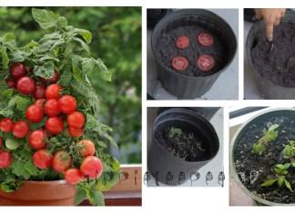 Πώς να καλλιεργήσετε απεριόριστες Ντομάτες Χρησιμοποιώντας μόλις 4 φέτες και λίγο χώμα!