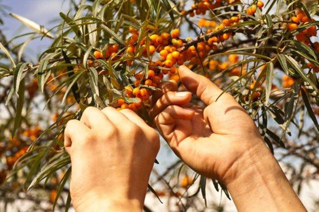 Ιπποφαές: Ένα από τα ισχυρότερα θεραπευτικά φυτά του κόσμου