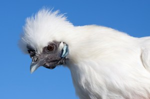 Silkie Chicken fuffy white with gray beak