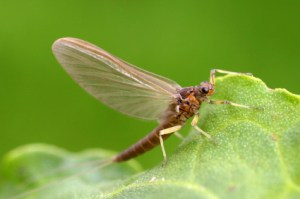 mayfly on leaf