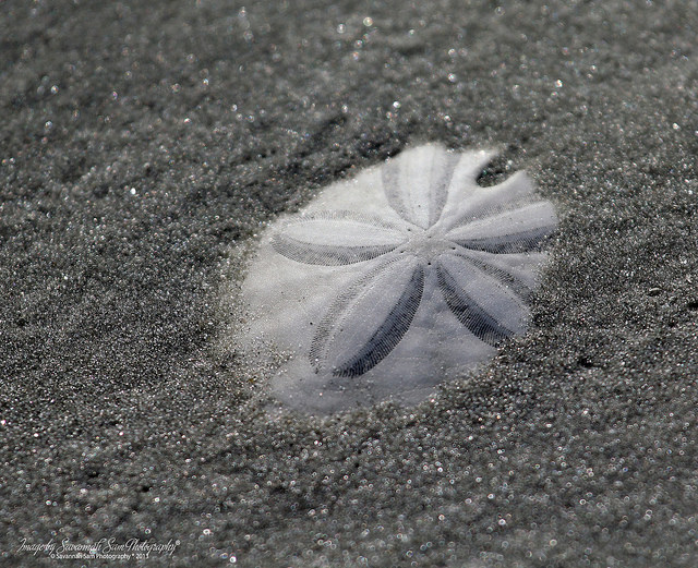 Sand Dollar poking out of sand