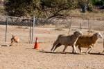 author's dog herding sheep around a corner