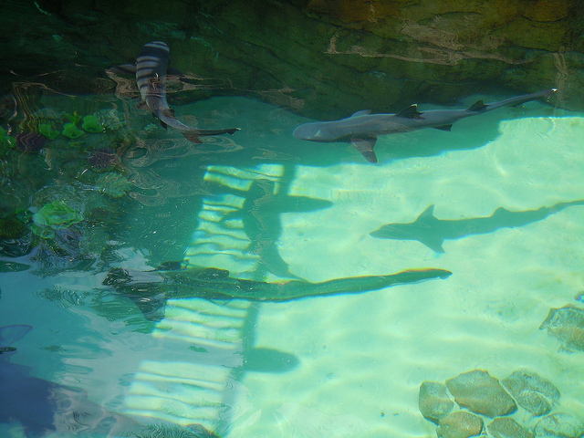 sharks in lagoon at discovery cove