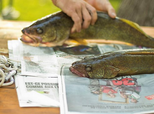 two caught fish on newspaper ready to be cleaned
