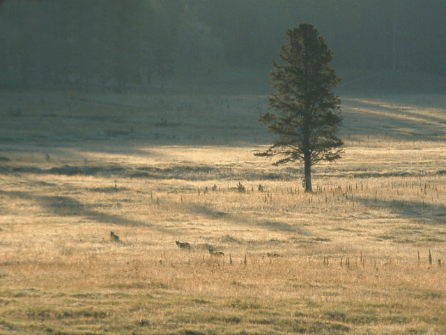 image of wolves from a distanace at yellowstone field with one lone pine tree, snow on ground