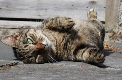 Our tabby cat rolling around