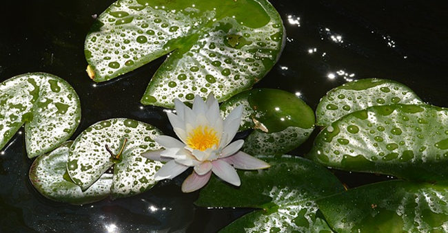 bunga-di-kolam.jpg