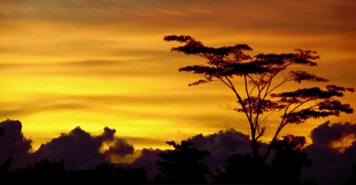 pohon-langit-kuning.jpg