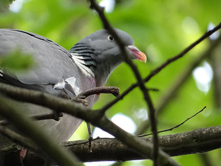 wood pigeon building a nest in a tree on our allotment