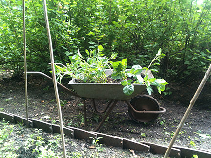 wheelbarrow of potato plants to be transplanted