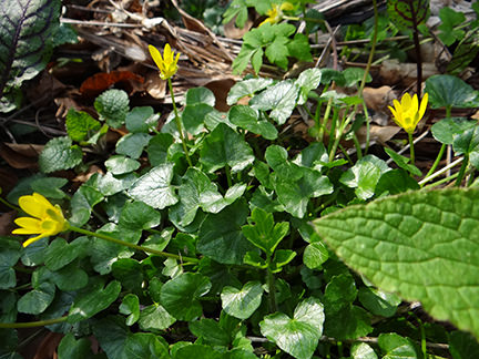 Celandine in flower on our allotment