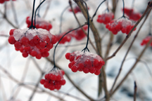 close up of snow-covered red berries