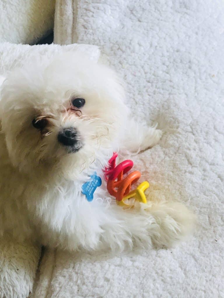 Snoopy Maltese puppy
