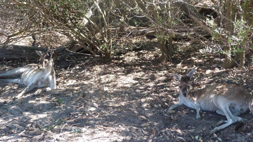 La sieste des kangourous gris