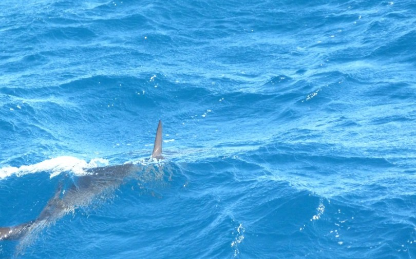 Requin marteau au Ningaloo