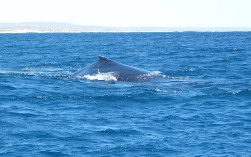 Baleine au Ningaloo