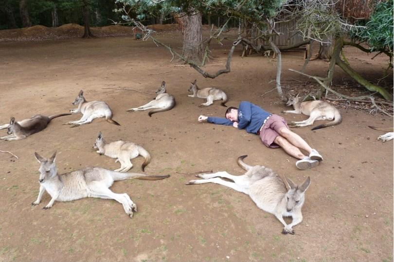 Tasmanian devil conservation park kangourou
