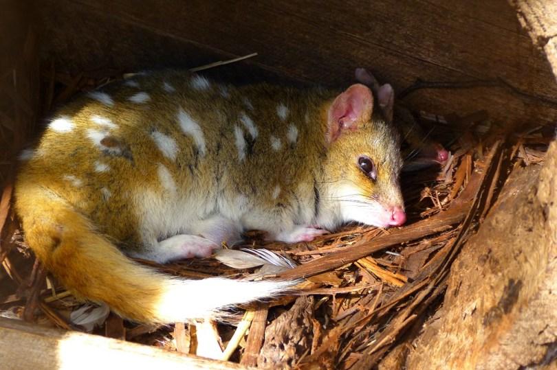 Tasmanian devil conservation park quoll