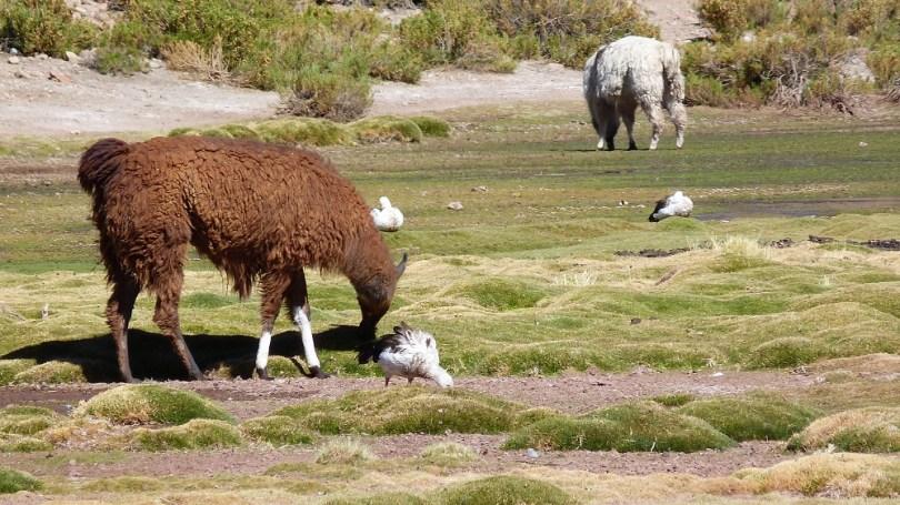 Machuca lamas