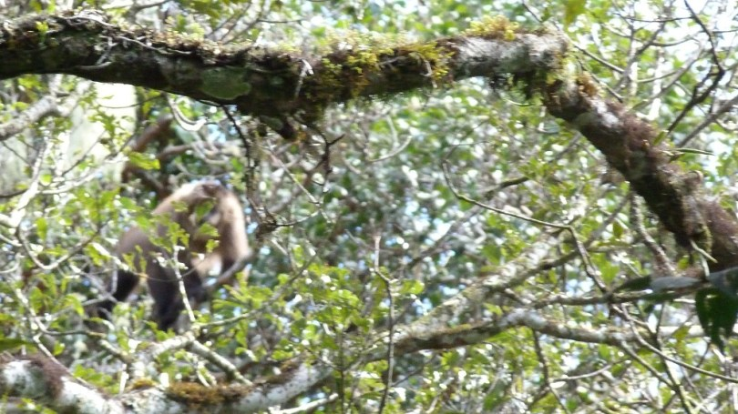 Singe parc national amboro