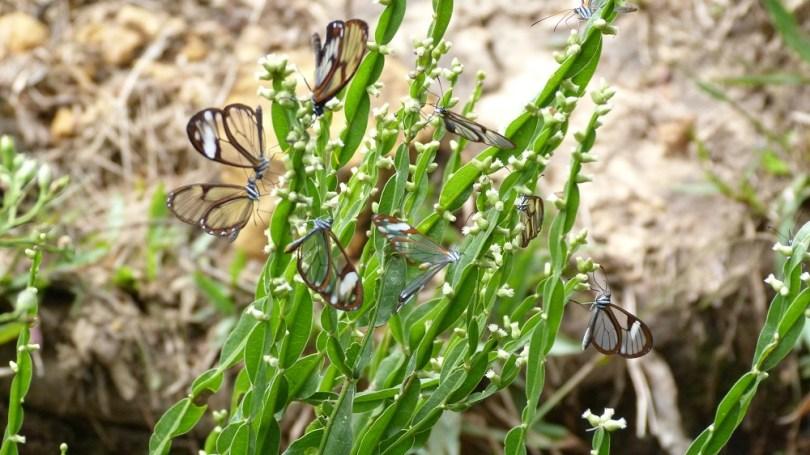 papillons transparents amboro