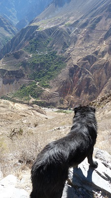 Chiens errants canyon de colca