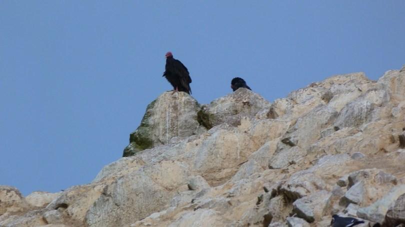 Oiseau charognard islas ballestas