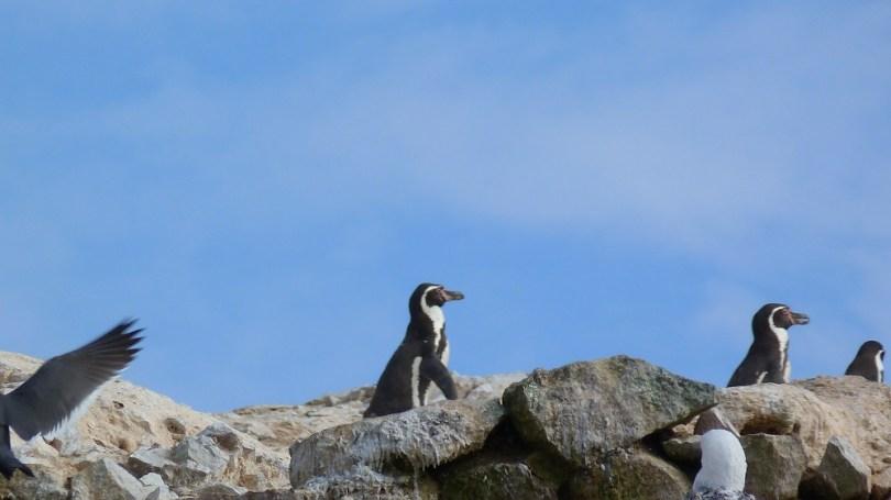 Pingouins promenade islas ballestas
