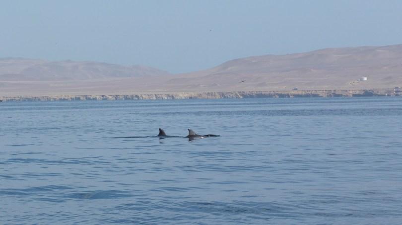 dauphins islas ballestas