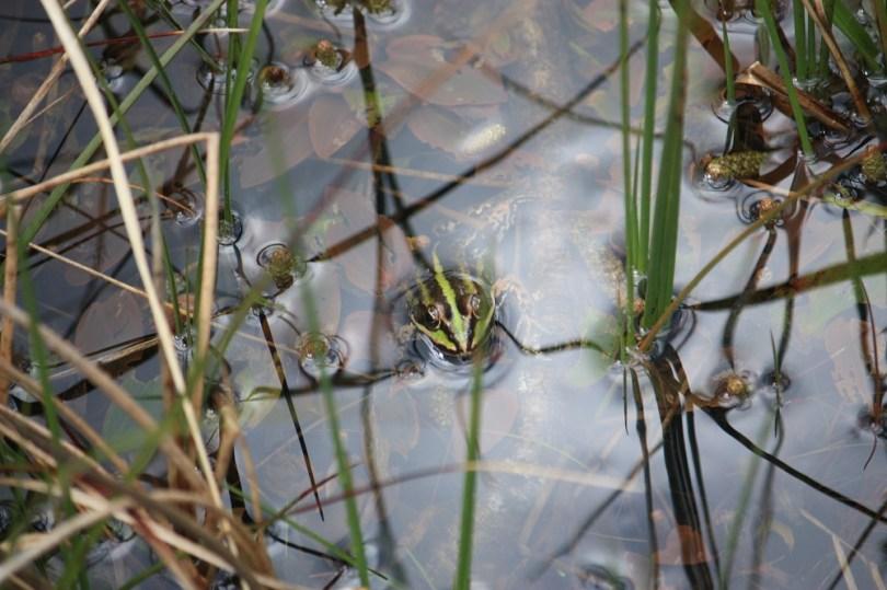 broceliande grenouille paimpont