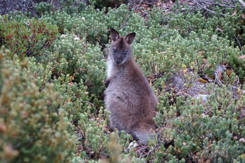 road trip cradle mountain pademelon