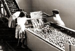 Cooperativa Pindorama e a higienização dos maracujás em 1960