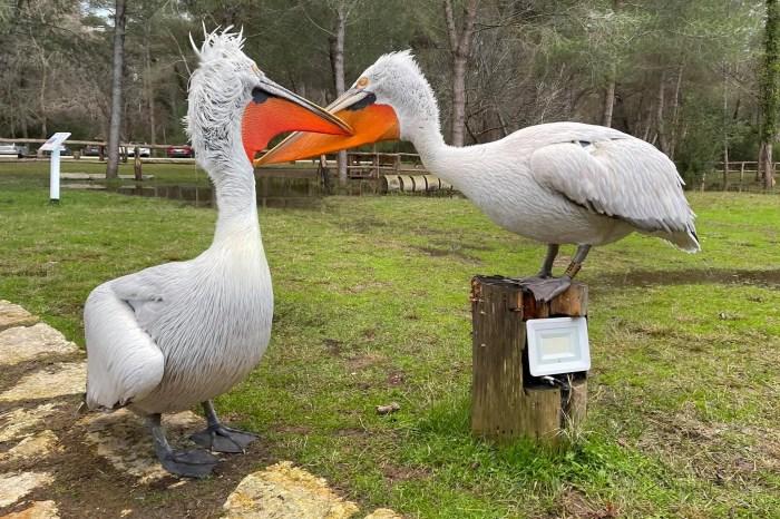 Pelikani kaçurrel Xhoni, në një lidhje!