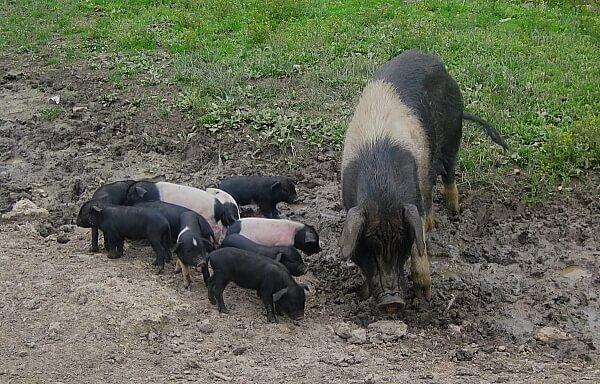 cerdo-chino2